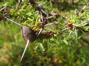 A picture of a whistling thorn tree